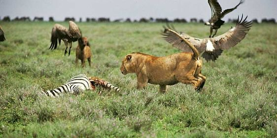 Competition Between Animals